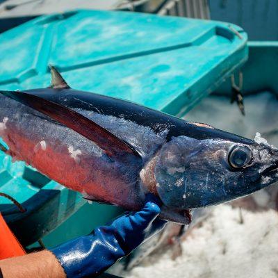 Fresh Albacore Tuna is a favorite up and down the Oregon Coast.