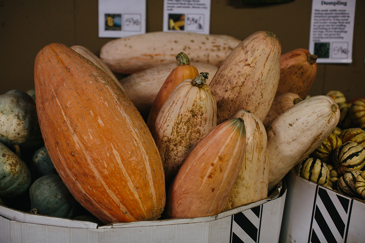 Sauvies island pumpkin patch