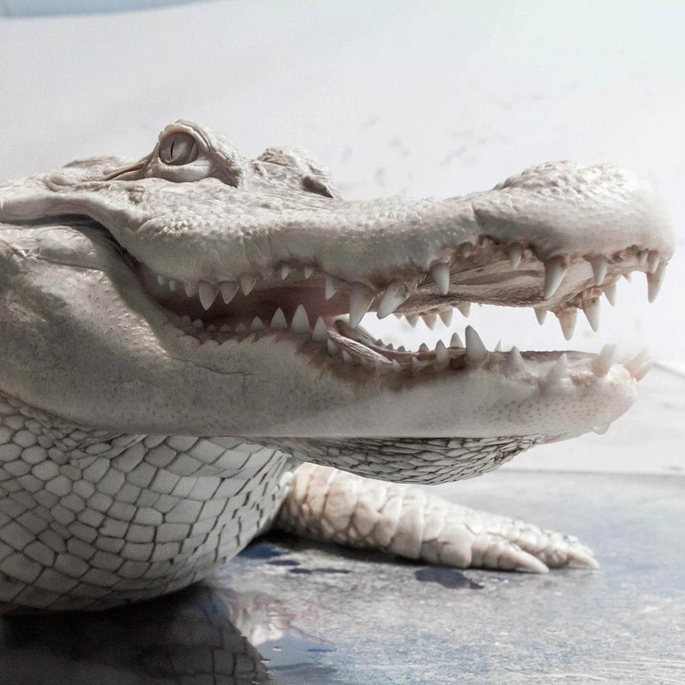 Baskar the Albino Alligator