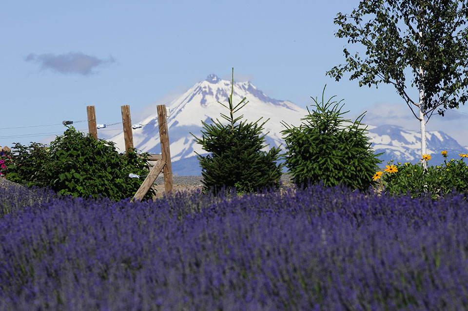 Cascade Lavender Farm's U-Pick Lavender for Charity
